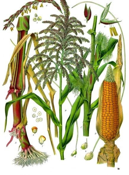 The very old and modified maize plant, Zea mays.