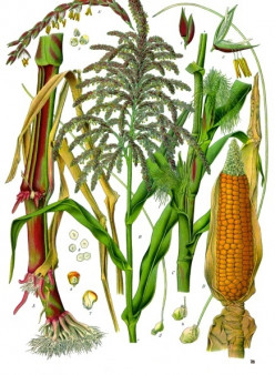 The Old and Intriguing History of Maize