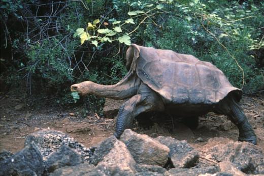 The Pinta Island tortoise