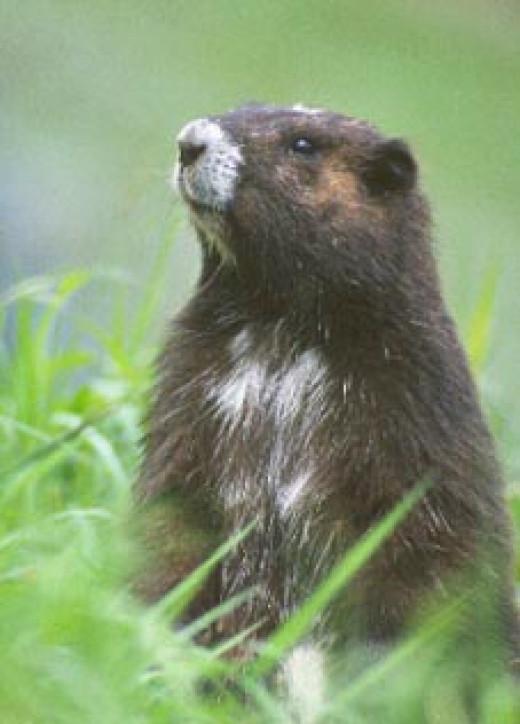 The Vancouver Island Marmot