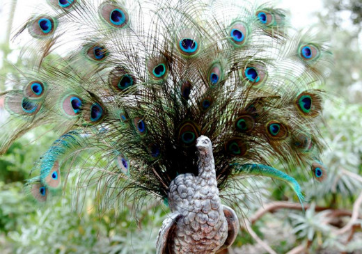 A proud peacock