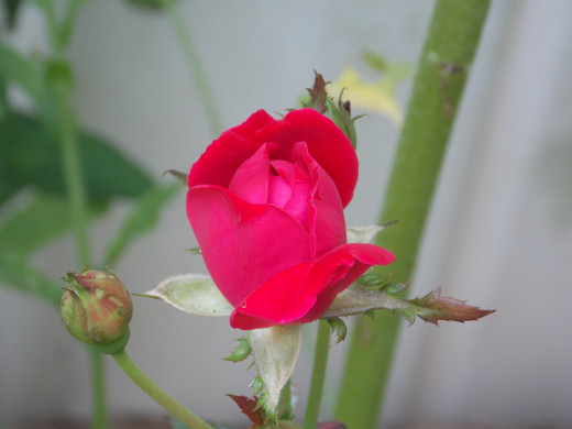 Knock-Out Rose Bud