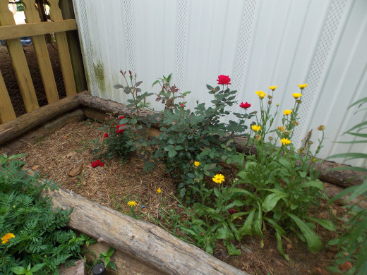 Knock-Out Roses Growing In A Raised Bed