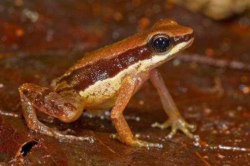 A Rare amazon frog
