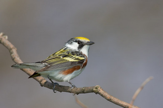 Chestnut-sided Warbler, adult male (Image copyright 2004 Arthur Morris/BIRDS AS ART)