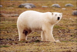 Polar bears are the largest carnivores of Ontario.