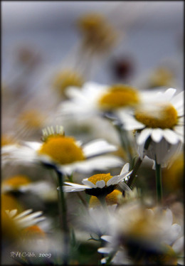 Wild Daisies in the Wind from Russell H Cribb flickr.com