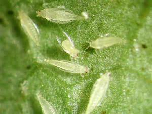 white - opaque thrips