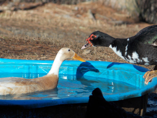 Ducks are happy with wading pools to swim in each day.  This fawn Indian Runner Duck is having a good time.