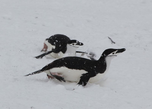 Two Tobogganing Penguins