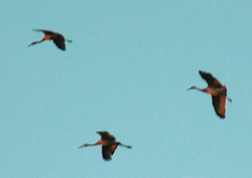 Sandhill cranes coming in for a landing at Jasper-Pulaski.