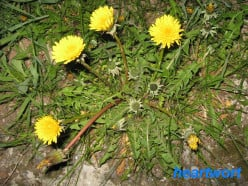 Wonderful Weeds: Dandelion for food, health and beauty