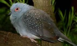How to distinguish Diamond Dove from Peaceful Dove