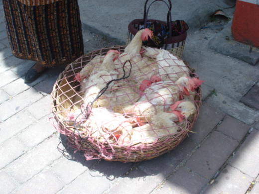 Chickens are really fresh in 3rd world nations as they are slaughtered as needed by the women of the house.  These fine feathered friends are getting ready to ride the chicken bus in Panajachel, Guatemala.