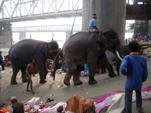 Two elephants returning to Haathi Baazaar after a dip in the river