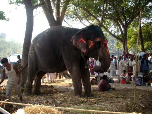 A decorated elephant at the Haathi Baazar (Elephant Market)