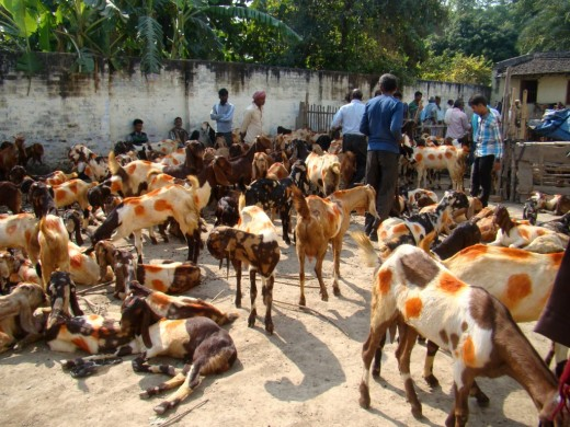 Goats at the Bakri Baazaar (The Goat Market)