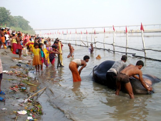 An elephant being bathed in Gandak river