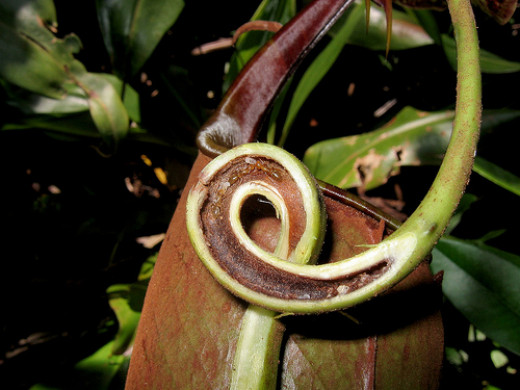 Detail on the nest of ants in one of Nepenthes bicalcarata tendrils.