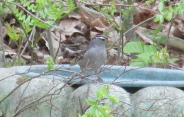 White-crowned Sparrow at the concrete bird bath.