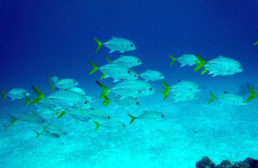 You don't need to swim far in Cozumel to see beautiful tropical fish like this school of yellow jack fish.