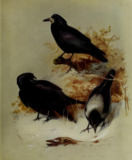 The rook [top],carrion crow,[left ]and hooded crow [right]  illustration by Thorburn