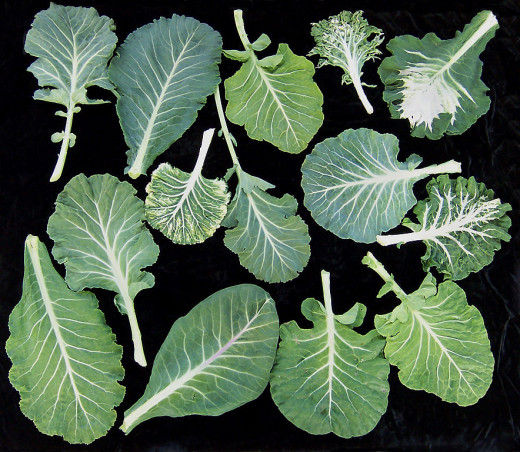 What?! Green collards aren't orange and they still contain beta-carotene? Why, yes! The collard leaves, when crushed, actually release orange pigmented juices, brimming with beta-carotene!