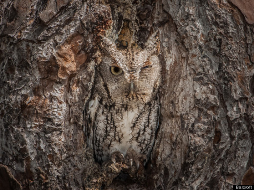 Camouflaged Eastern Screech Owl