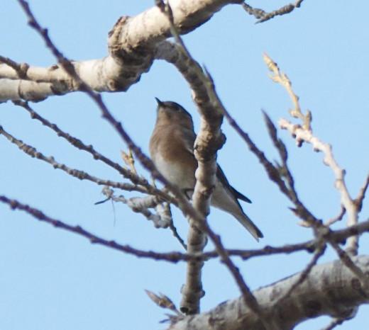 Easern Bluebird