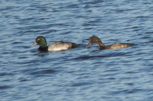 Great Scaup Pair, Male(right) and Female(left)