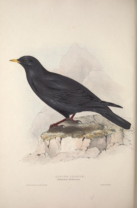 Birds of Europe --Gould { 1837}
