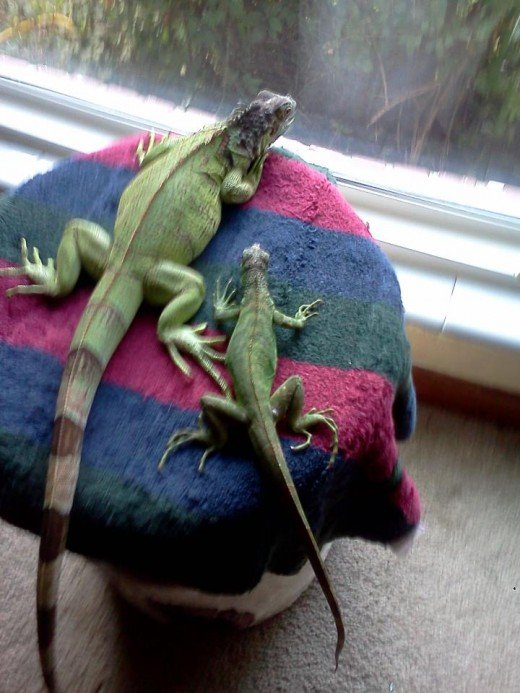 Iguanas are inquisitive creatures.  They like to see what is going on at all times.  You can call them nosey if you wish.  This picture is of Anastasia and BJ.  Anastasia was carrying eggs at this time.this picture was taken.