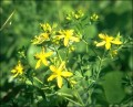 How to Make St. John's Wort Tea from Herbal Capsules