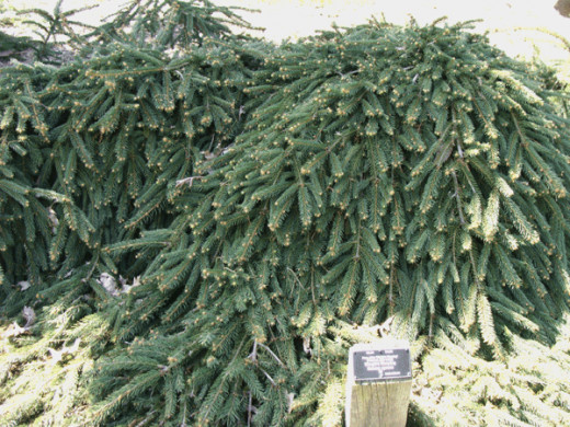 Rare evergreen shrubs