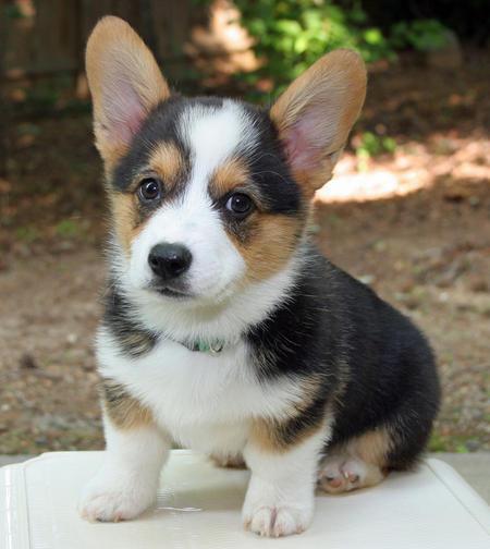 Tri Corgi Puppy