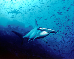 The Hammerhead Shark - One of the Sea's Most Fascinating Predators