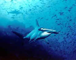 The Hammerhead Shark - One of the Sea's Most Fascinating Predators