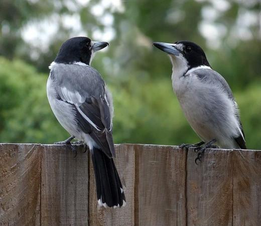 Butcher Birds