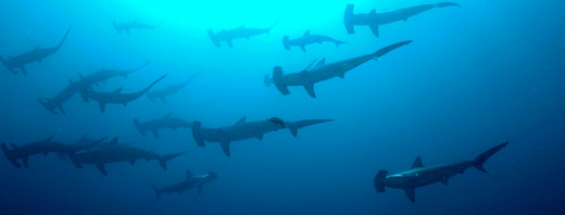 Scalloped hammerhead sharks (Sphyrna lewini)