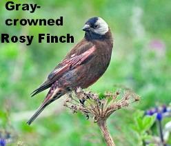 Gray-crowned Rosy-Finch (Leucosticte tephrocotis), near King Eider Hotel, St. Paul Island, Alaska (See 'ID' capsule)