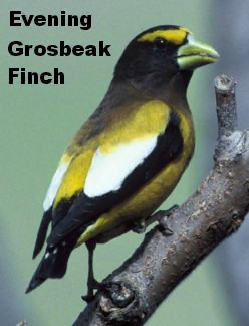 Evening Grosbeak at Klamath Falls, California (See capsule 'Evening Grosbeak')