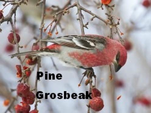 Pinicola enucleator feeding upon crabapple fruit. Chippewa Co., Michigan, USA. (See capsule 'Pine Grosbeak')