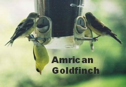 Male and Female American Gold Finches at a feeder