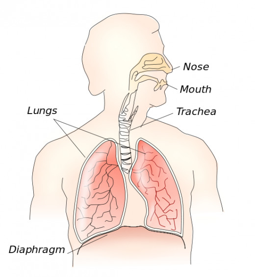 For those wondering where the diaphragm is and why it matters in depth of breathing.