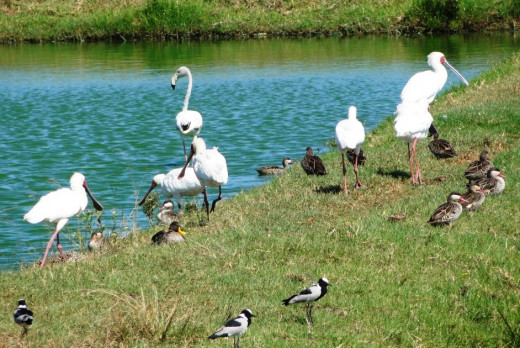 Good selection of birds at Chintsa Sewage Works
