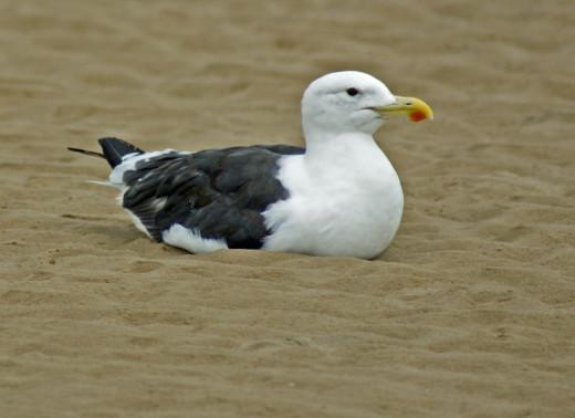 Kelp Gull: Nahoon