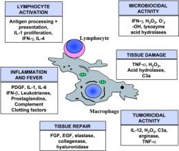 Cytokines and Macrophages