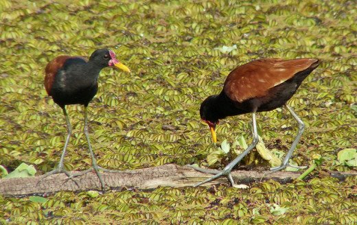 Male and Female Jacana
