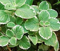 Plectranthus amboinicus 'Variegata', which makes a very attractive ornamental plant.