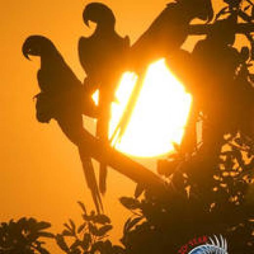 Macaws at Sundown